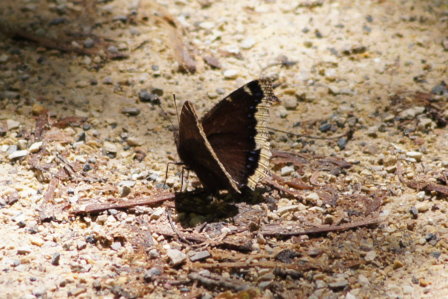A very nice mourning cloak that let me get a lot of close shots.