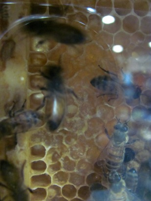 An exhibit of honeybees, complete with comb