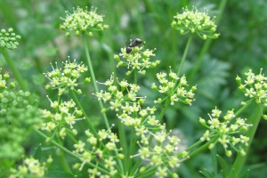 Parsley flowers are light green-yellow