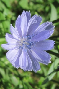 Cornflower - probably should be blue