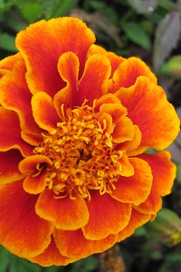 Marigold from my sister-in-law's garden