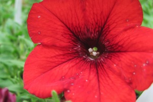 red flower IMG_2246