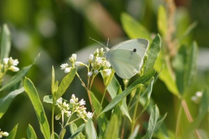 A cabbage white, maybe?