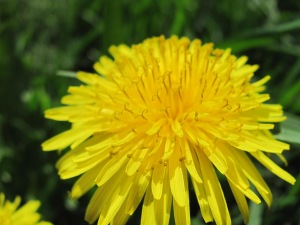 Of course, I had to put in a dandelion!
