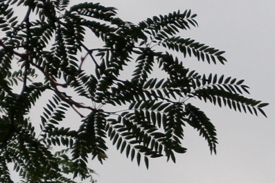 I think locust leaves look more tropical or prehistoric!