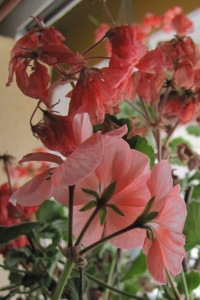 I kept this geranium alive for two winters