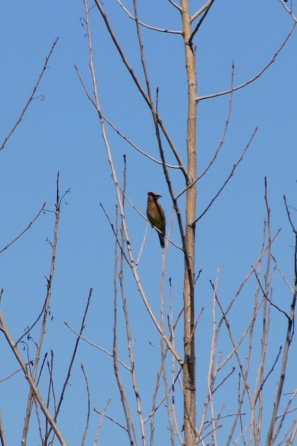 We were starting to see more cedar waxwings at this point, too